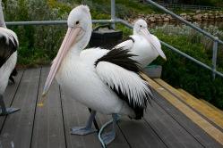 pelican-3
