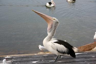 pelican-7