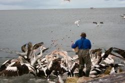 pelican-8